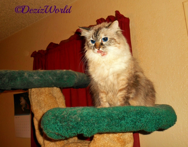 Dezi sits atop the liberty cat tree and licks her lips