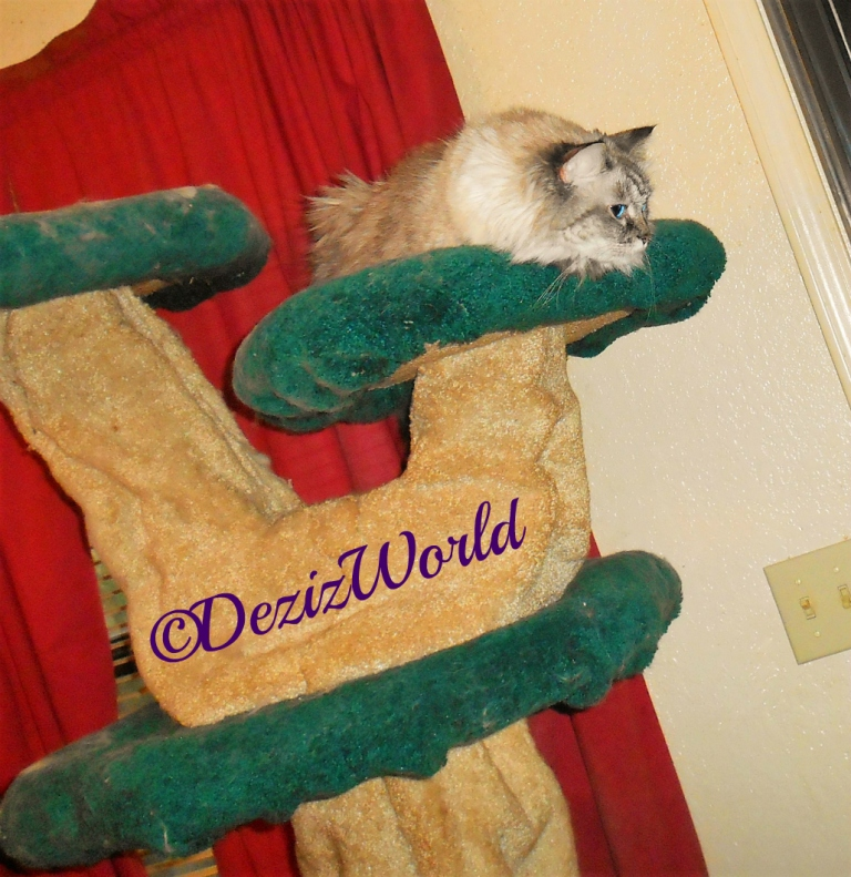 Dezi lays atop the cat tree and looks out the door