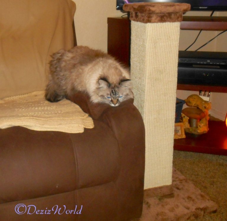 Dezi lays on the arm of the chair next to the Scratching post