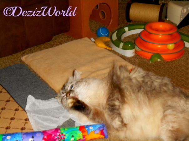 Dezi licks paw while playing with the Kitty Kick Stix
