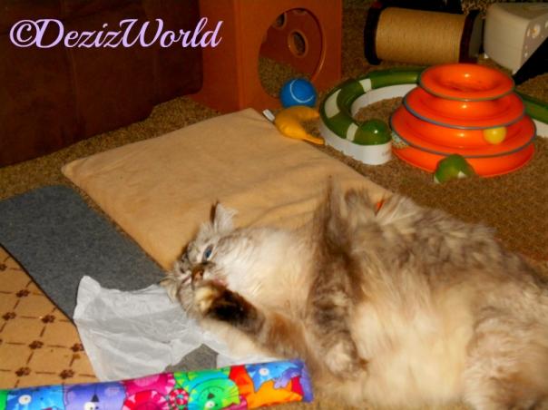 Dezi licks paw while playing with the Kitty Kick Stix