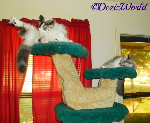 Dezi and Raena laying atop the liberty cat tree