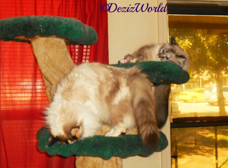 Dezi and Raena atop the liberty cat tree
