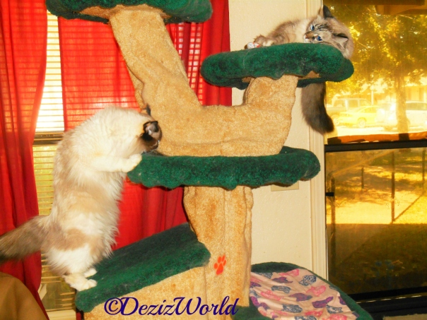 Dezi lays atop the liberty cat tree while Raena stands sniffing at the shelf