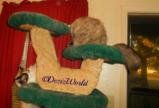 Dezi looks at Raena while both play on the Liberty cat tree