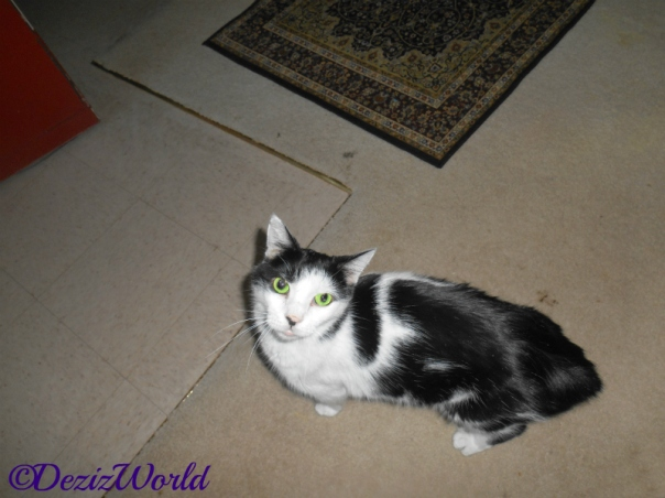 Nubs the black and white manx cat looks at the camera