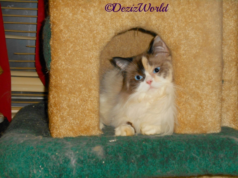 Raena lays in house on liberty cat tree