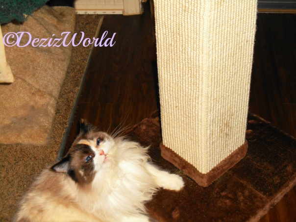 Raena lays on scratching post