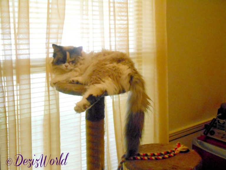 Raena naps on the brown cat tree in front of the new old window