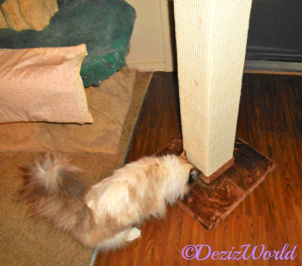 Raena sniffs scratching post