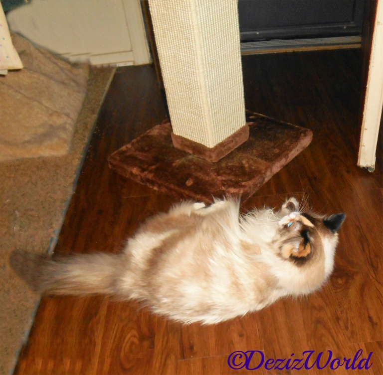 Raena licks paw while laying on scratching post