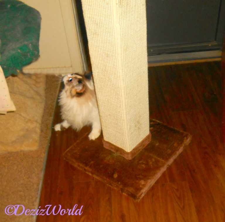 Raena with the Cat Scratcher from Chewy's Oct. review