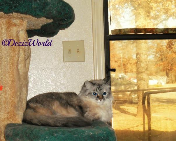 Dezi lays on cat tree