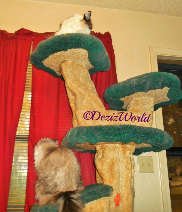 Dezi and Raena look out the door and window from their perch on the liberty cat tree