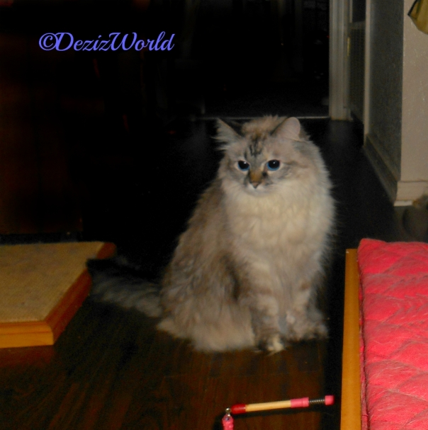 Dezi sits pretty in the hall behind my chair