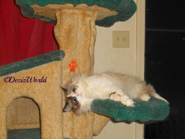 Raena lays on cat tree looking towards the chair