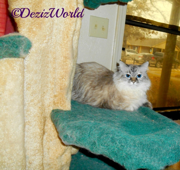 Dezi lays on cat tree