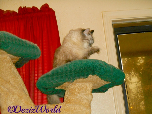 Dezi licks paw while sitting atop the liberty cat tree