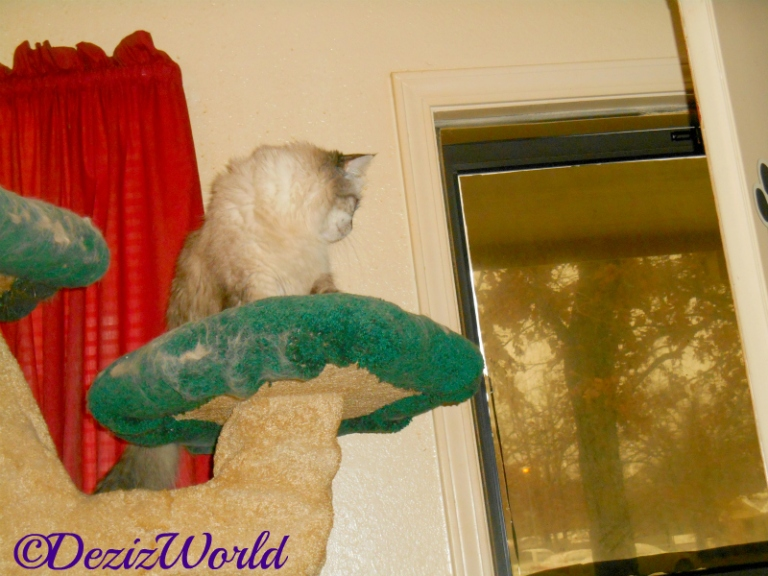 Dezi looks out the door from atop the liberty cat tree