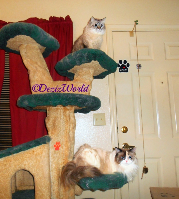 Dezi and Raena sitting on the liberty cat tree