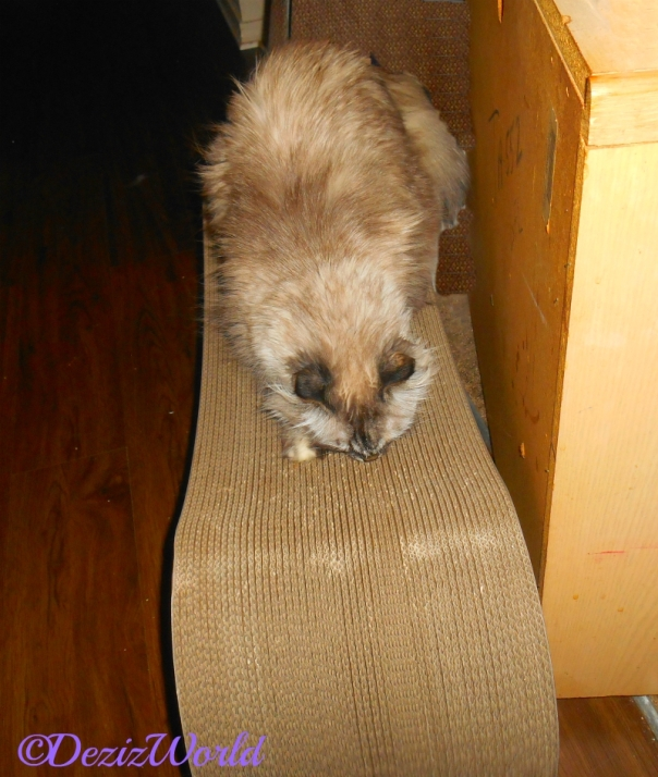 Dezi on scratcher with Silvervine