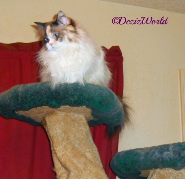 Raena sits atop the Liberty Cat tree