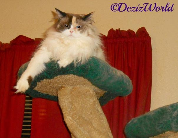 Raena lays atop the liberty cat tree