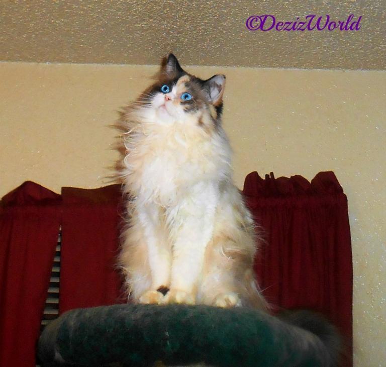 Raena sits atop the Liberty Cat tree looking curious