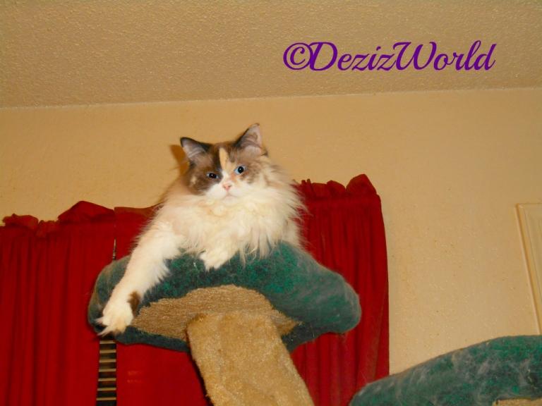 Raena atop the Liberty cat tree