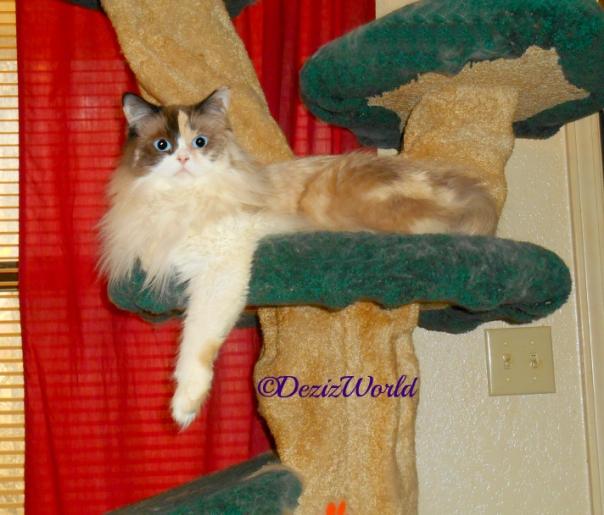 Raena draped on the Liberty cat tree