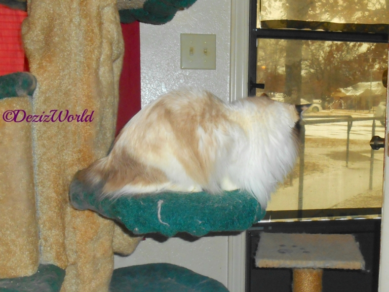 Raena looks out at snow from liberty cat tree