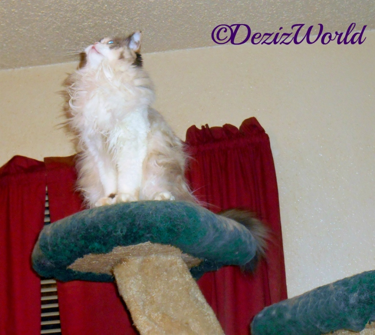 Raena sits atop cat tree-praying