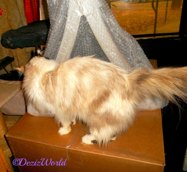 Raena stands on box and checks out the PetFusion cat scratcher
