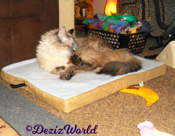 Dezi takes a bath while laying on the heated cat mat