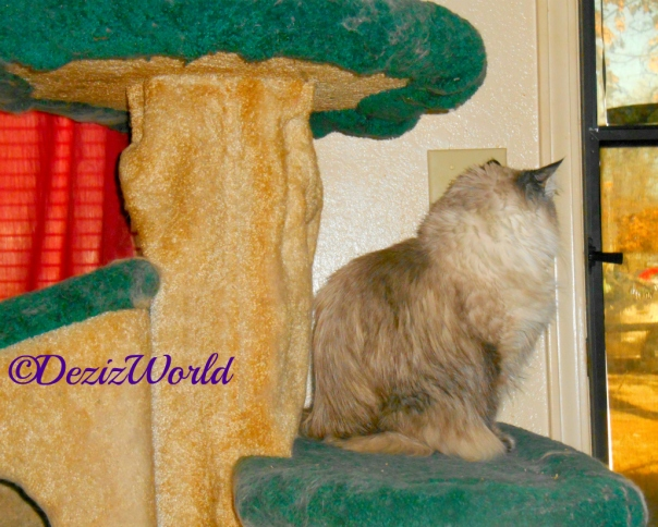 Dezi sits on cat tree and looks out door