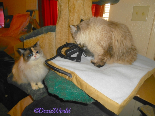 Dezi and Raena check out the new heating mat on the liberty cat tree
