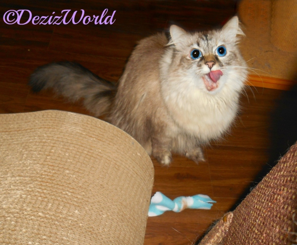 Dezi with mouth open over nip toy from Ellen