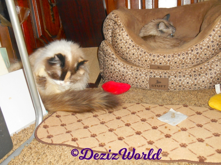 Raena bathes while Dezi lays in the cat beds behind her
