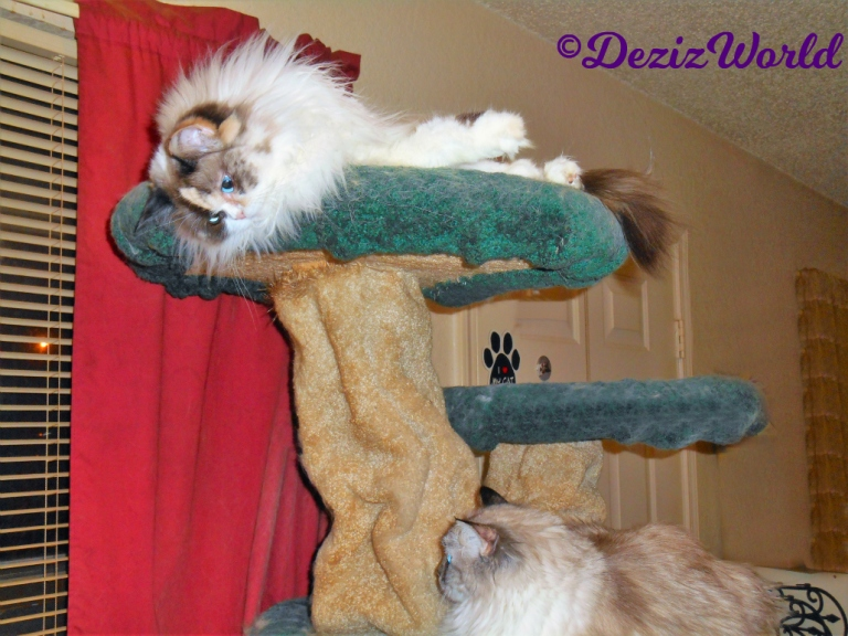 Raena lays atop the Liberty cat tree looking down at Dezi laying on the edge of the tree