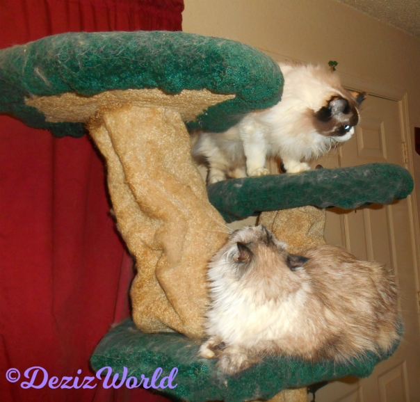 Raena stands on the Liberty Cat tree while Dezi looks back at her from the ledge