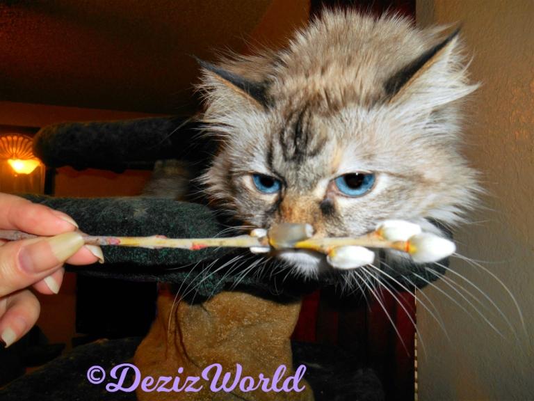 Dezi sniffs the catkins sent by awnty Ellen