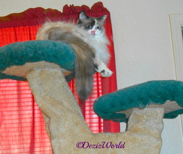 Raena lays atop the liberty cat tree