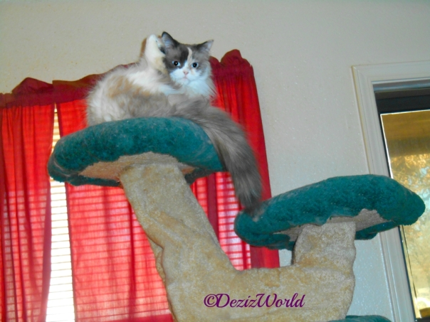 Raena bathes atop the Liberty cat tree with leg up