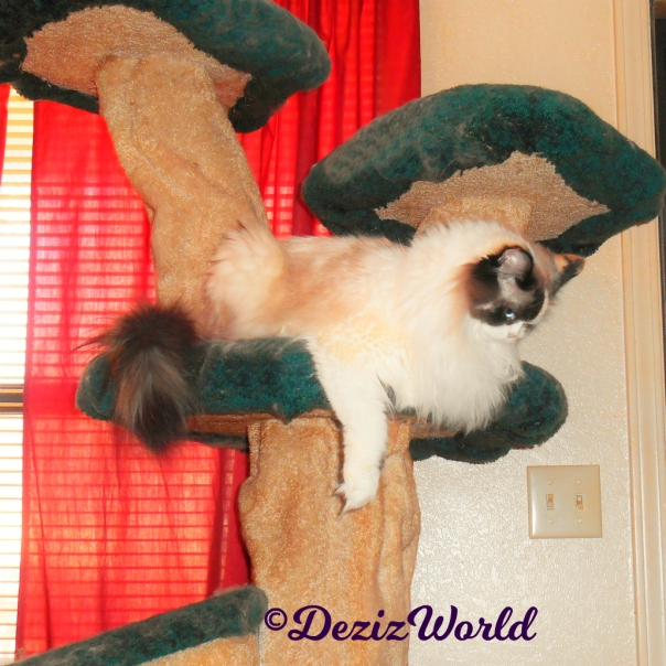 Raena lays on Liberty cat tree and looks down, profile