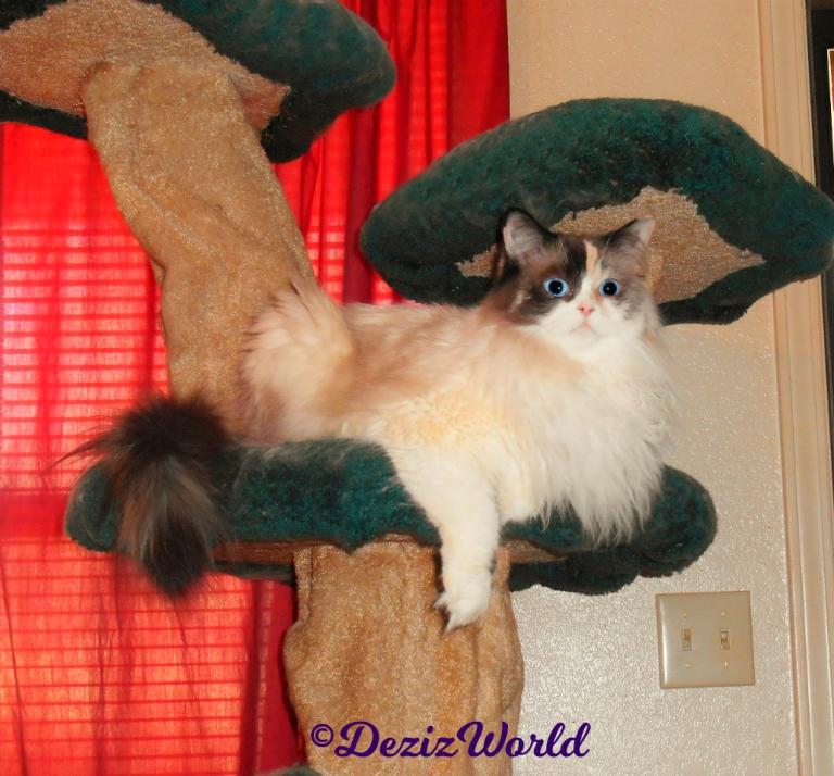 Raena lays on the liberty cat tree