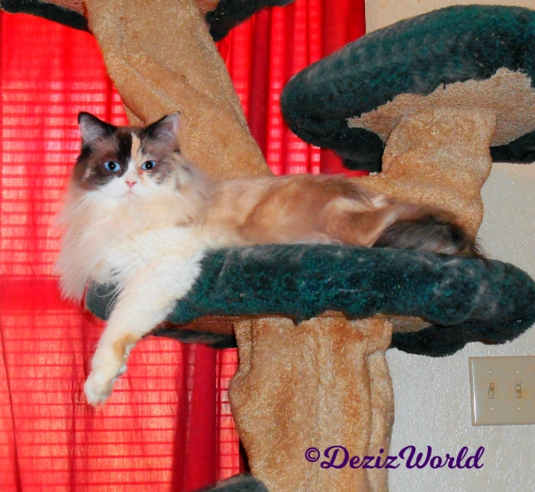 Raena lays on the Liberty Cat Tree looking pretty