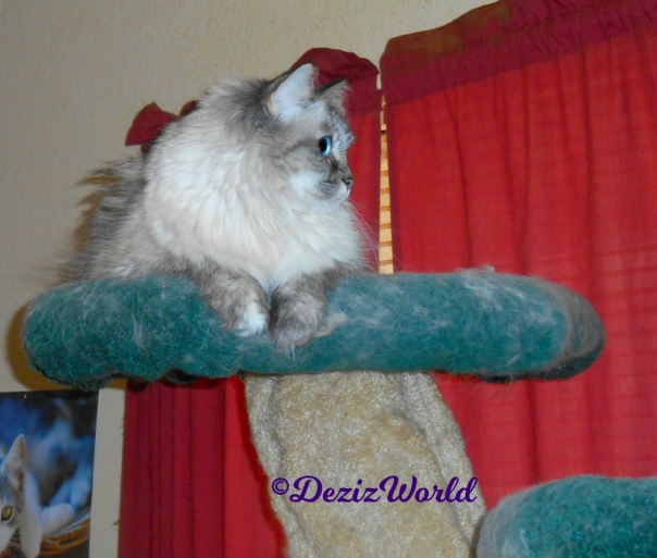 Dezi lays atop the cat tree looking out