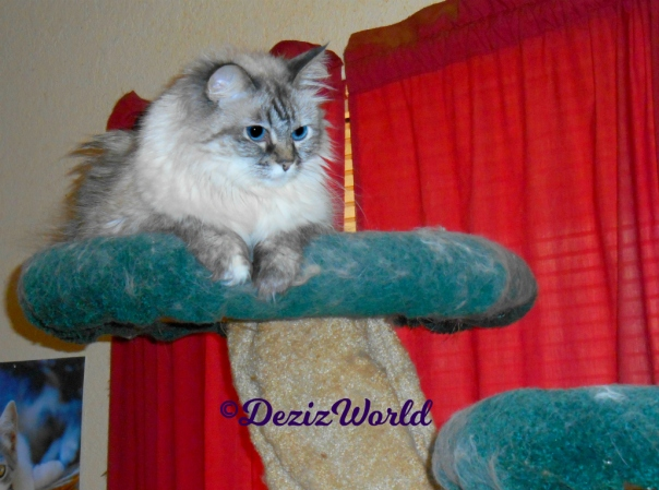 Dezi atop the cat tree looking down