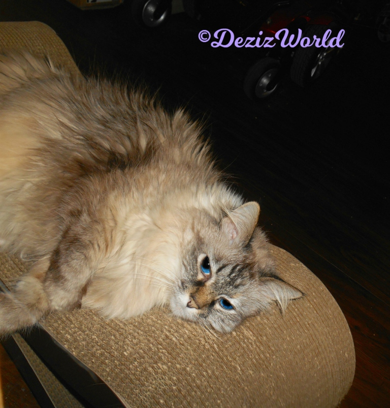 Dezi lays on scratcher looking cute