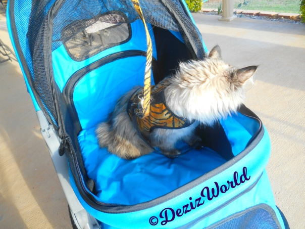 Dezi looks out the side of the stroller while outside